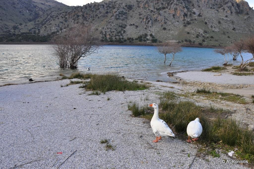 Hens in Lake Kournas