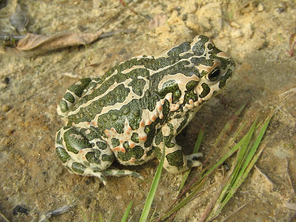 жаба зелёная фото