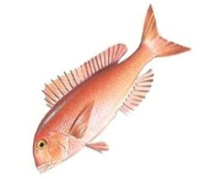 Dentex_macrophthalmus
