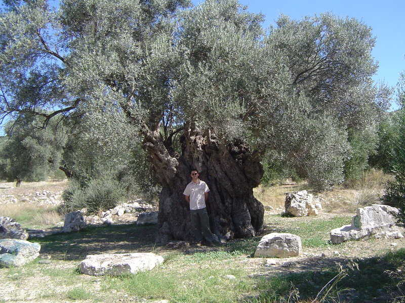 kamilari olivenbaum tourist info f r die insel kreta. Black Bedroom Furniture Sets. Home Design Ideas