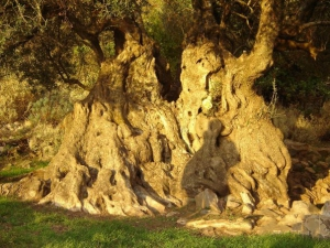 Great Olive tree of Aerinos