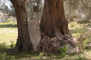Gortyn ancient Olive Grove