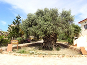 Ano Vouves monumental olive tree