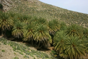 Agios Antonios palm grove
