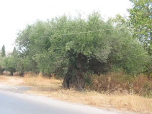 Fourkolia monumental olive tree