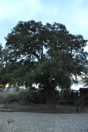 Oak tree of Ismael